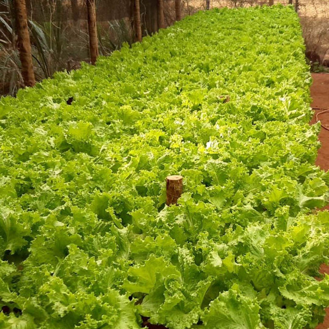 Alface crespa hidropônica Xis Folhas - 50un