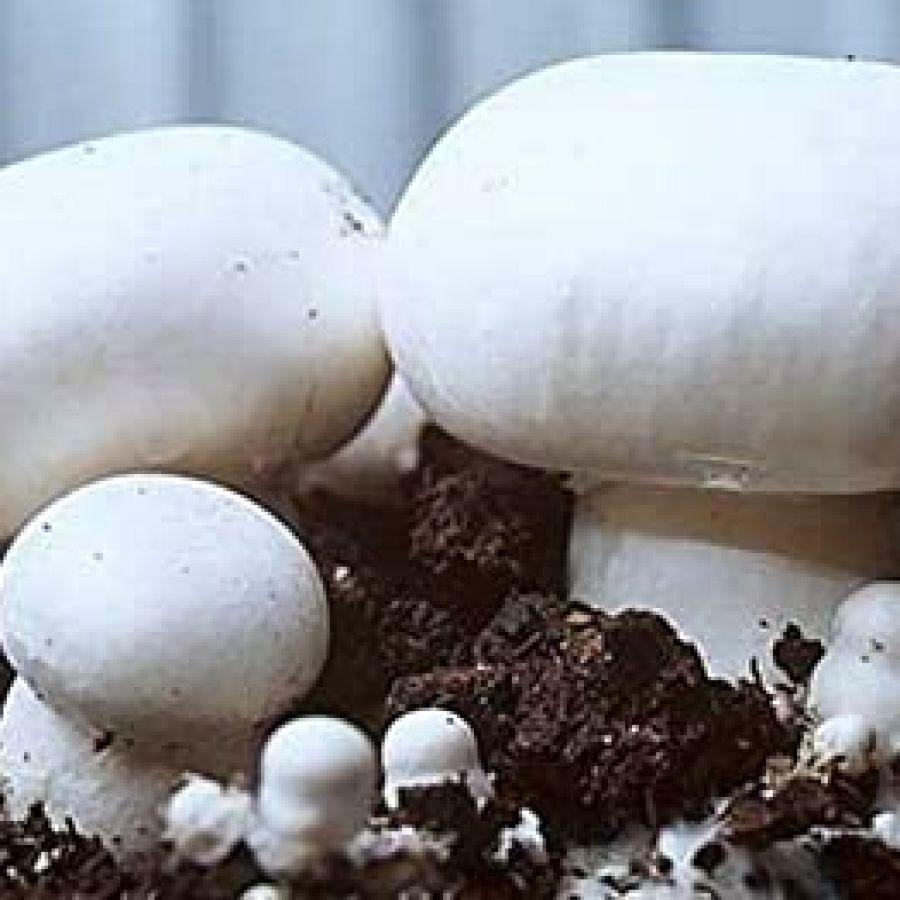 Cogumelo Paris Casa dos Fungos - 200g